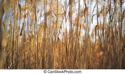 Dry reed grass on a sunny autumn day. 1920x1080 full hd...