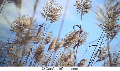 Dry reed grass on a sunny autumn day 1920x1080 full hd...