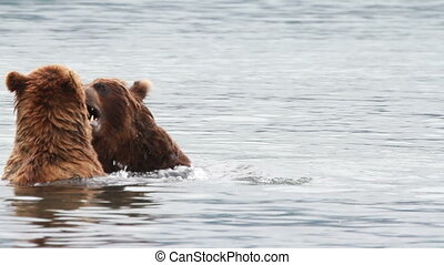 Bears fighting - Two Grizzly Bears fighting, Summer