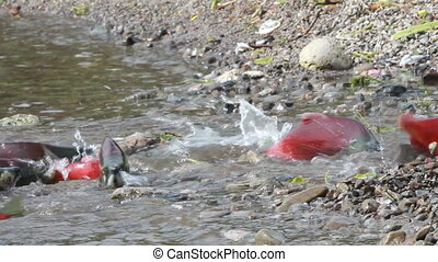 Spawning Salmon swimming - Colorful Spawning Salmon swimming...