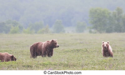 Brown bear and cub Summer