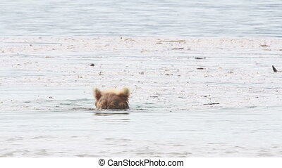 Bear playing with a stick. Floating on the lake.