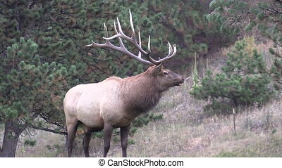 Big Bull Elk - a big bull elk during the fall rut