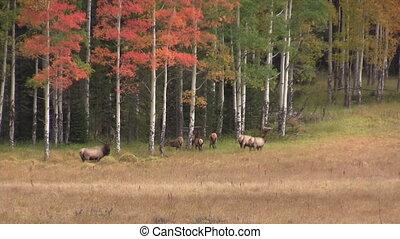 Elk Herd in Fall Landscape