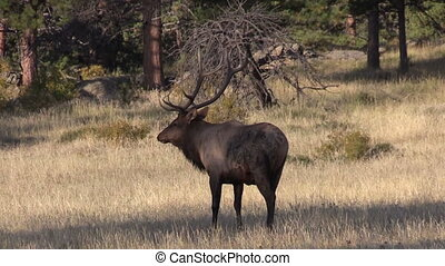 Bull Elk in Rut - a big bull elk in a meadow during the fall...