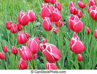 Kingston tulips 2008