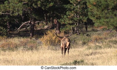Bull Elk in Rut - a big bull elk in a meadow during the fall...