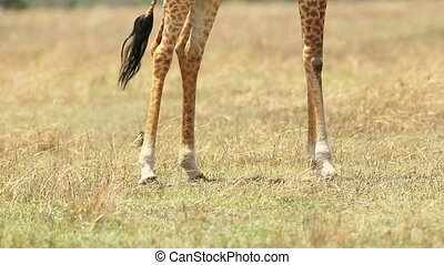 Giraffe eats grass in Africa - Giraffe eating in Serengeti...