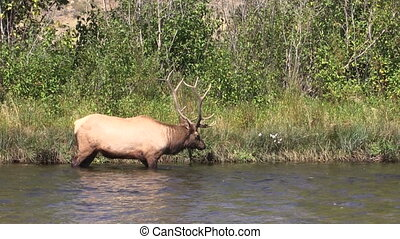 Bull Elk Drinking During the Rut - a bull elk getting a...