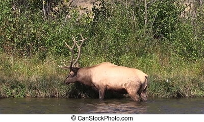 Bull Elk - a bull elk in a river during the rut