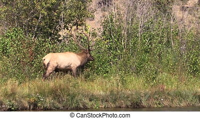 Bull Elk in Rut - a big bull elk during the fall rut