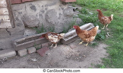 hen chicken henhouse - Hen chicken feed from trough in...