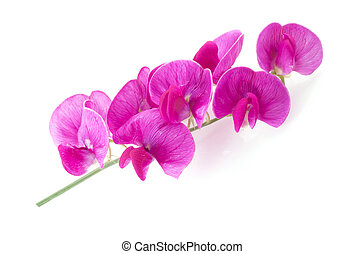 Lathyrus - Branch of the Lathyrus Latifolius on a white...