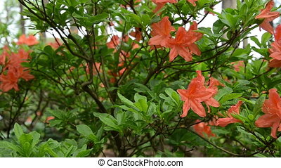 orange rhododendron bloom - Panorama of orange rhododendron...