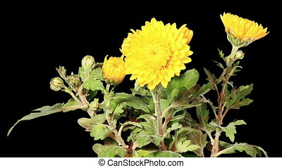 Blooming yellow chrysanthemum flower buds ALPHA matte, Full...