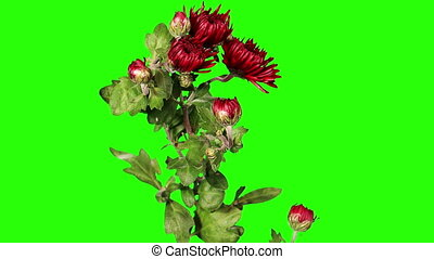 Blooming red chrysanthemum flower buds green screen, Full HD...