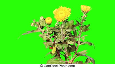 Blooming yellow chrysanthemum flower buds green screen, Full...