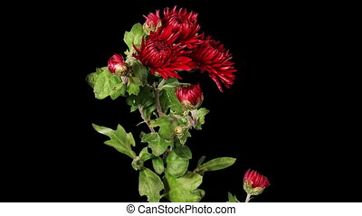 Blooming red chrysanthemum flower buds ALPHA matte, Full HD....