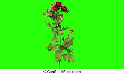 Blooming red chrysanthemum flower buds green screen, Full...