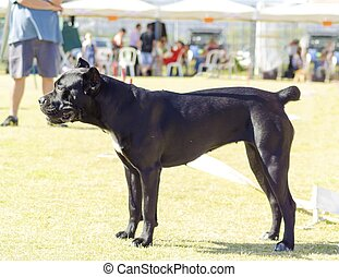 Cane Corso - A profile view of a young, beautiful black and...