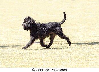 Affenpinscher dog - A small young black Affenpinscher dog...