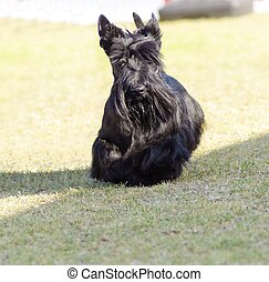 Scottish Terrier - A view of a small, young and beautiful...