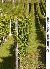 Vineyard - vine stocks - Vine stocks into a vineyard near...