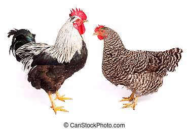 Rooster and chicken on white background. Gallus gallus...