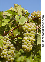 Vineyard - Grapes and vine leaves - Grapes at a vine stocks...