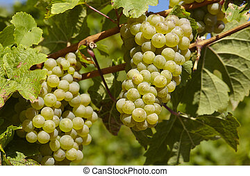 Vineyard - Grapes and vine leaves - Grapes and leaves at a...