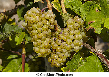Vineyard - Grapes - Grapes and leaves at a vine stocks into...