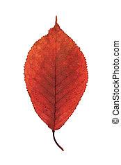 野生, さくらんぼ, 秋, 葉