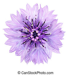 Purple Cornflower Flower Isolated on White Background....