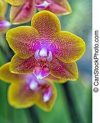 Close-up Phalaenopsis Orchid - Close-up yellowpurple...