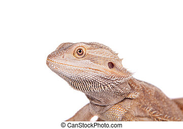Central Bearded Dragon on white background - Central Bearded...