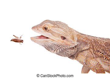 Central Bearded Dragon chasing a cricket on white - Central...