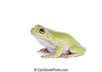 Australian Green Tree Frog on white background - Australian...