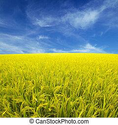 paddy, arroz, campo