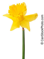 Daffodil flower or narcissus isolated on white background...