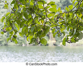 Fresh Leaves on Branch - Fresh green leaves on a branch over...