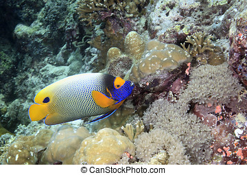 Blue-face Angelfish - an adult blue-face angelfish swimming...