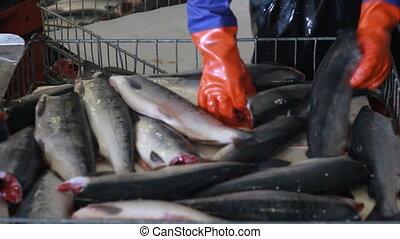 hand deboning salmon