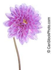 dahlia - Studio Shot of Fushsia Colored Dahlia Flower...