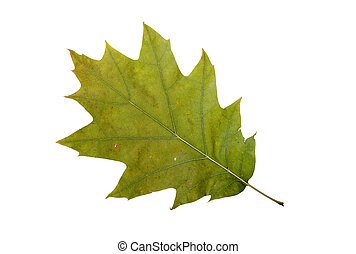 Autumn Oak Leaf - Oak tree leaf with autumn colors, isolated...