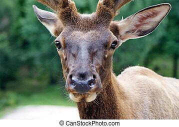 Wild deer - Photo shows a closeup of wild deer in the wood.