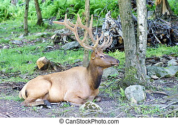 Wild deer - Photo shows a closeup of wild deer in the wood.