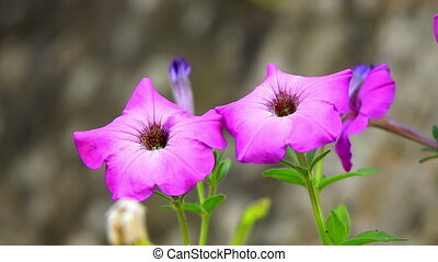 Colorful petunias close-up