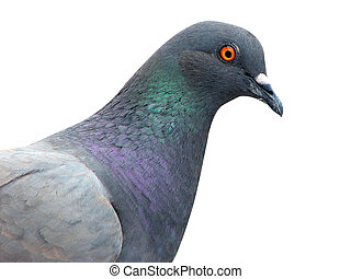 isolated pigeon - closeup pigeon isolated on the white...