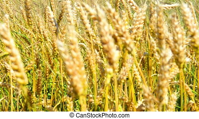Field of wheat on the wind. Nature background with zoom in