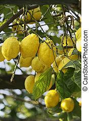 ITALY, Ischia island, lemon tree - ITALY, Campania, Ischia...